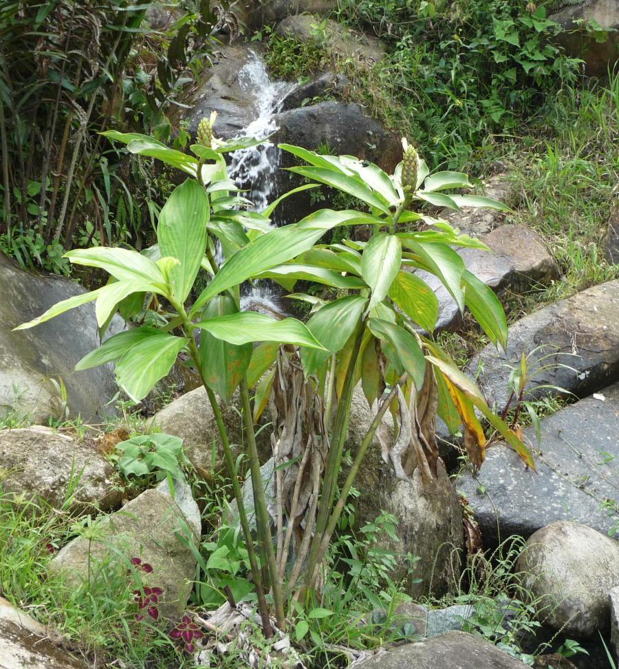 Photo# 16316 - Costus aff. guanaiensis from Siete Cataratas, near Lita, Ecuador