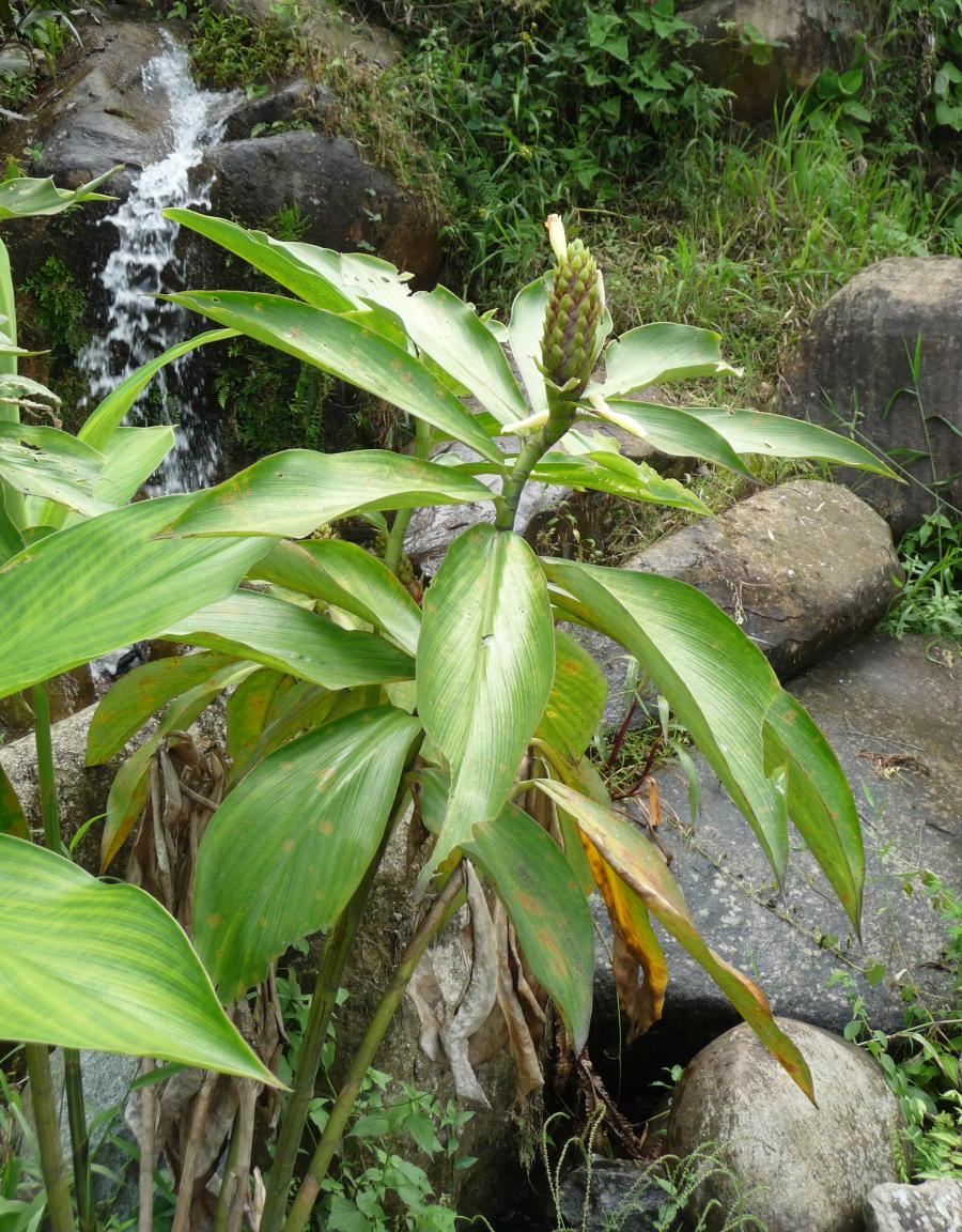 Photo# 16317 - Costus aff. guanaiensis from Siete Cataratas, near Lita, Ecuador