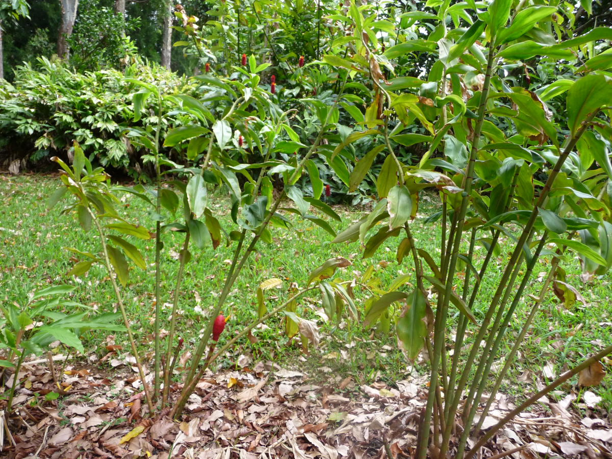 Photo# 16326 - Costus erythrocoryne at John Mood's garden