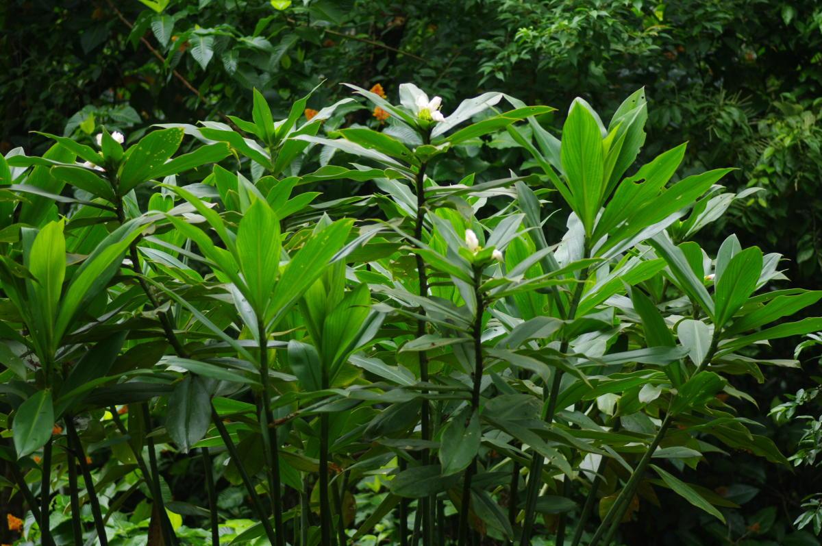 Photo# 16329 - Costus guanaiensis var. guan. from Cabo Matapalo, Costa Rica