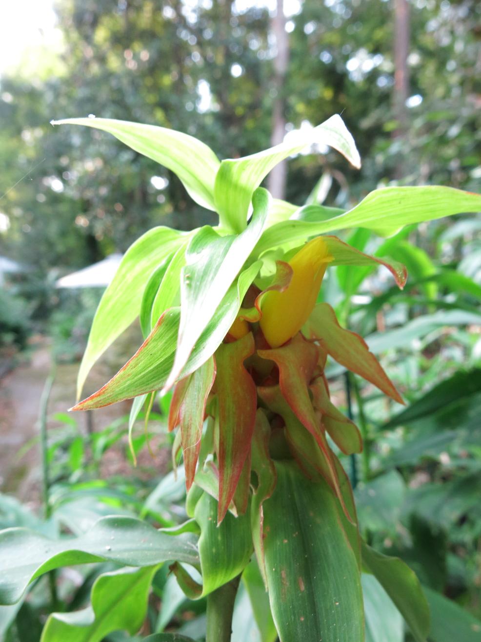 Photo# 15718 - Costus comosus var. comosus from garden at Tropenstation La Gamba, in Costa Rica