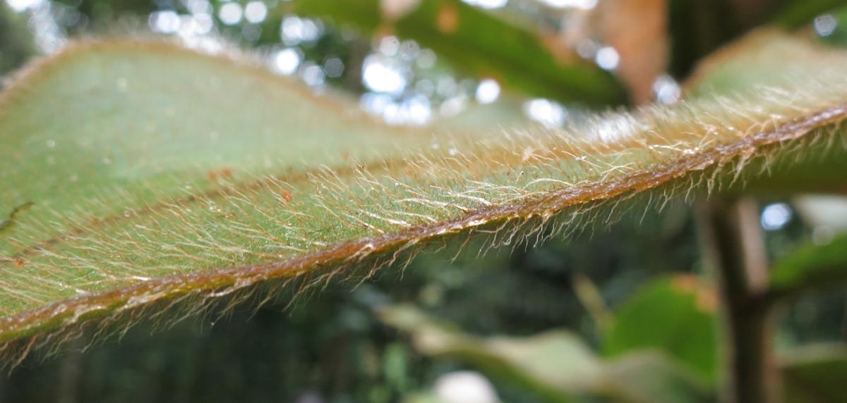Photo# 16021 - Costus aff. allenii at Quindio Botanical Garden, Colombia