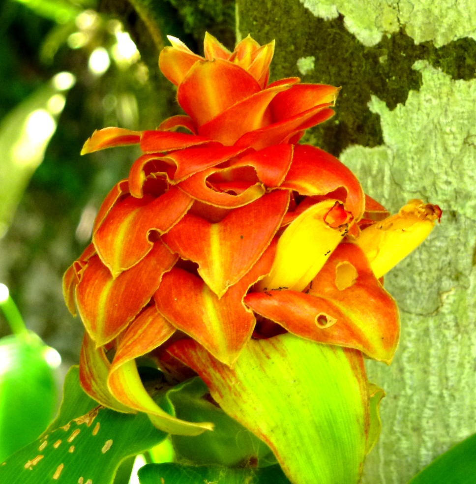 Photo# 15752 - Costus comosus from Cisneros, Antioquia, Colombia.  Photo by Bruce Dunstan