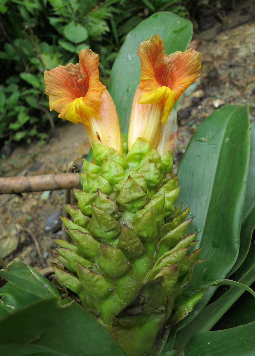 Photo# 16352 - Costus guanaiensis from near Atalaya, Manu area, Peru