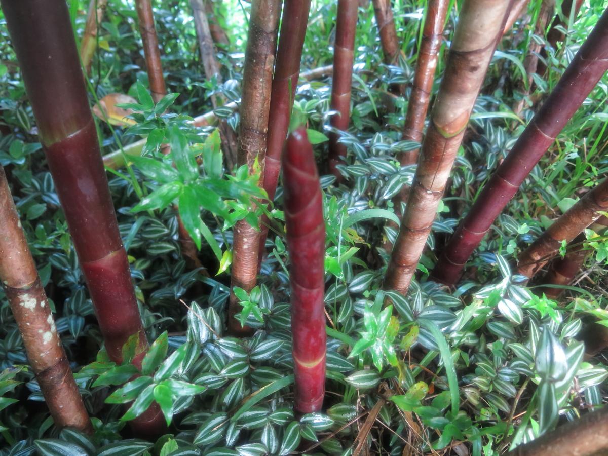 Photo# 16041 - Costus 'Red Baron' - at UGA garden, San Luis, Costa Rica