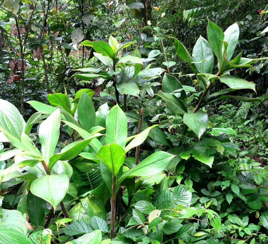 Photo# 16051 - Costus allenii at Jardin Botanico del Pacifico, Bahia Solano, Colombia