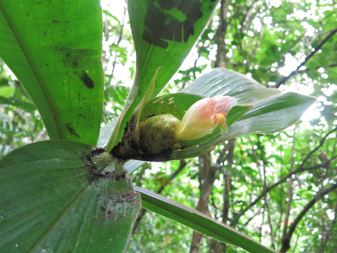 Photo# 16056 - Costus allenii at Jardin Botanico del Pacifico, Bahia Solano, Colombia