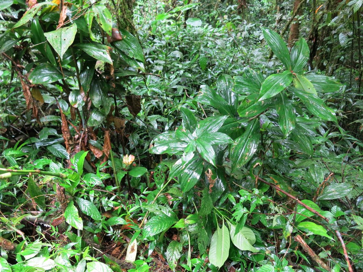 Photo# 16073 - Costus aff. erythrophyllus - Santa Maria, Quebrada Cristalino