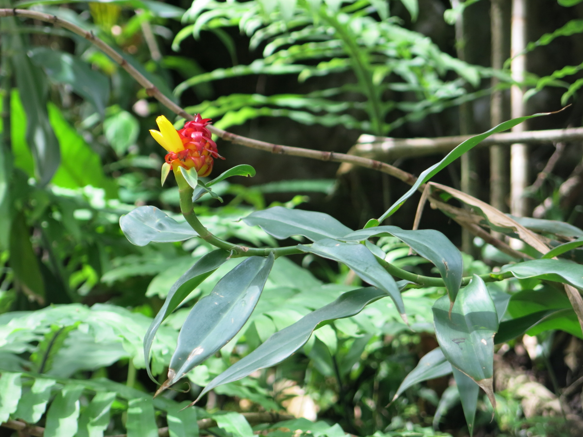 Photo# 15797 - Costus comosus from Santa Maria de Boyacá, Colombia