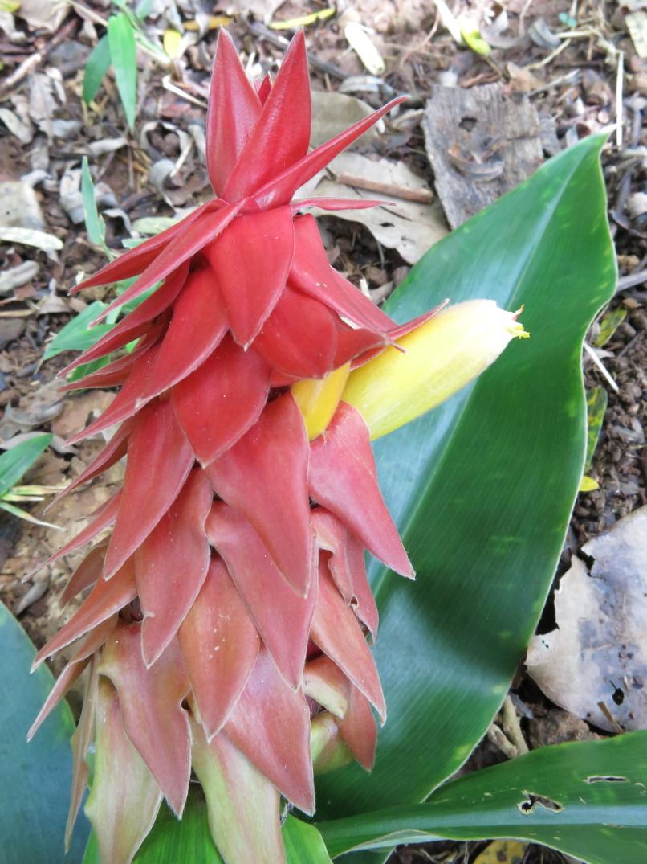 Photo# 15825 - Costus comosus var. bakeri from Finca Irlanda - Chiapas, Mexico