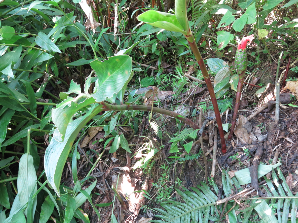 Photo# 17584 - Costus amazonicus subsp. amazonicus, along Piuntza road, Yacuambi area, Zamora Chinchipe, Ecuador.  Basal inflorescence (leaflessshoot)