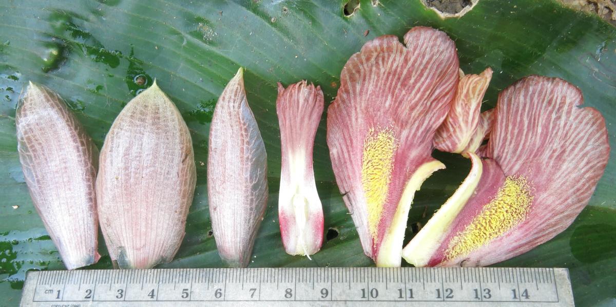 Photo# 17585 - Costus amazonicus subsp. amazonicus, along Piuntza road, Yacuambi area, Zamora Chinchipe, Ecuador.  Corolla lobes, stamen, labellum.