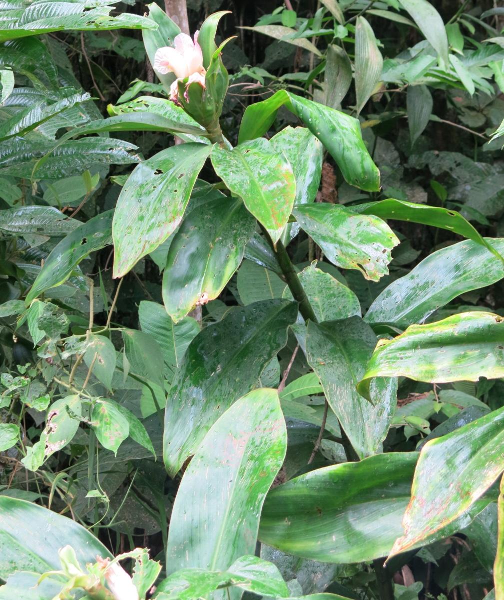 Photo# 17596 - Costus 'Reina Rosada'  found in El Zarza area - Cord del Condor, Zamora Chinchipe, Ecuador.  Possible natural hybrid of C. amazonicuswith C. zamoranus.