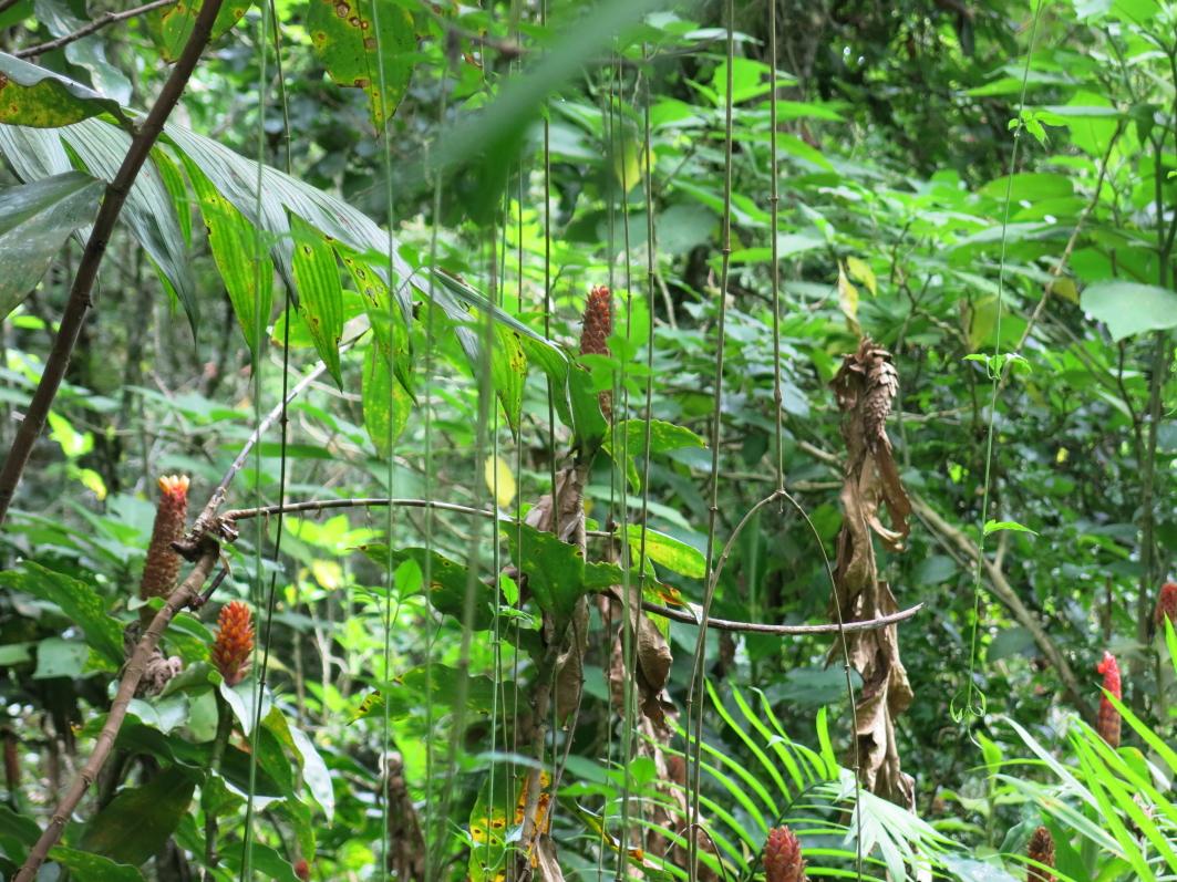 Photo# 17907 - Costus barbatus at Lankester Gardens, Costa Rica