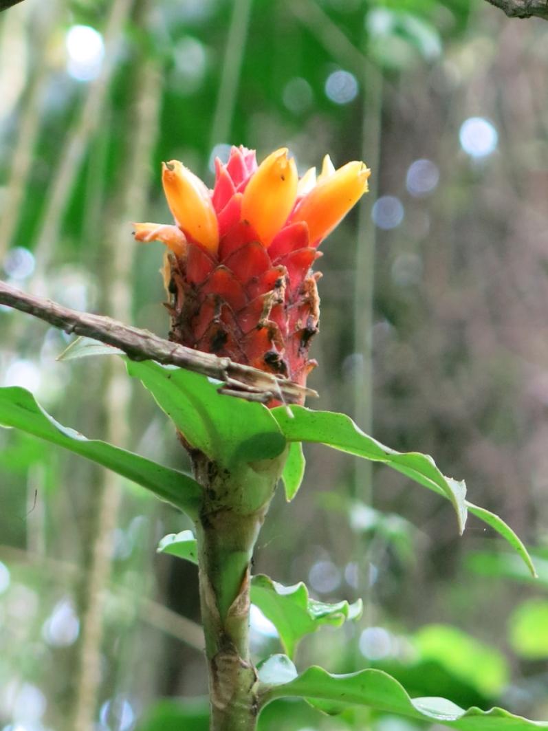 Photo# 17908 - Costus barbatus at Lankester Gardens, Costa Rica