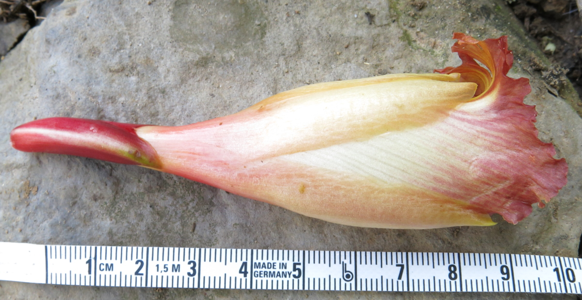Photo# 17922 - Plant  found near Cuchero, site of Ruiz & Pavon exploration  - flower
