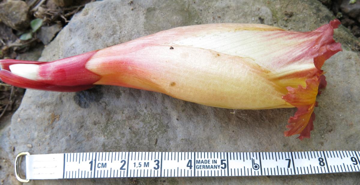 Photo# 17923 - Plant  found near Cuchero, site of Ruiz & Pavon exploration  - flower