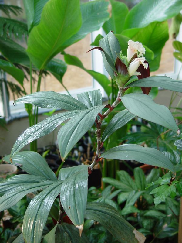 Photo# 10728 - Costus erythrophyllus 'Grey Ghost' - USBRG#94-680