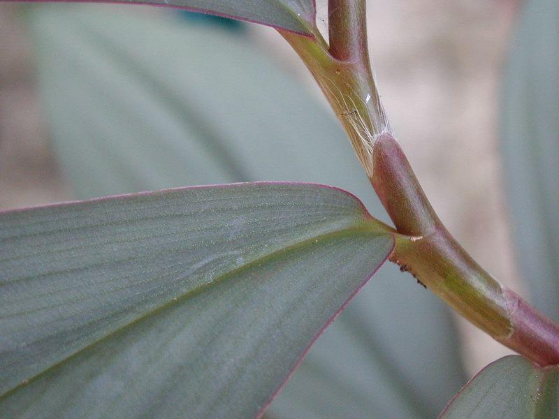 Photo# 10730 - Costus erythrophyllus 'Grey Ghost' - USBRG#94-680