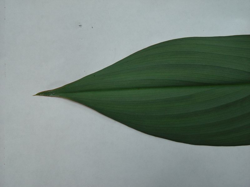 Photo# 10735 - Costus erythrophyllus 'Grey Ghost' - USBRG#94-680  plicate leaf