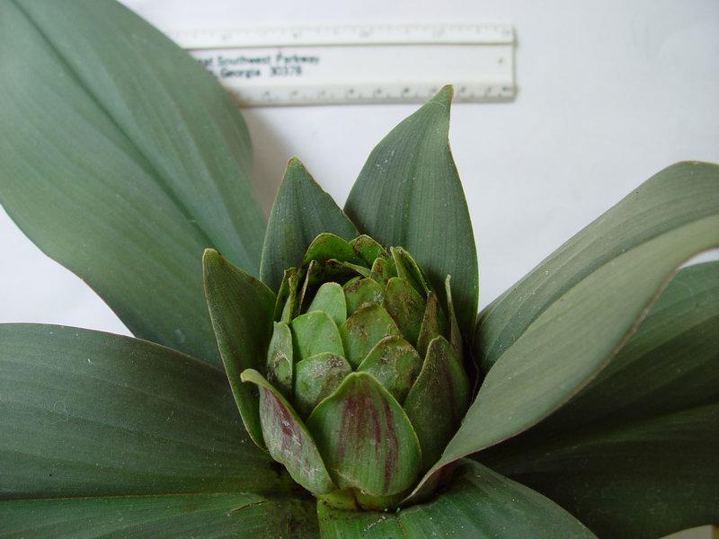 Photo# 10742 - Costus erythrophyllus 'Grey Ghost' - USBRG#94-680  spent inflorescence