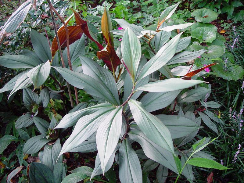 Photo# 10767 - Costus erythrophyllus 'Grey Ghost' - USBRG#94-680