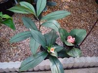 Costus erythrophyllus 'Grey Ghost' - USBRG#94-680  comparison with common form C. erythrophyllus - Click to see full sized image