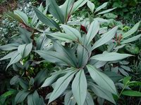 Costus erythrophyllus 'Grey Ghost' - USBRG#94-680 - Click to see full sized image