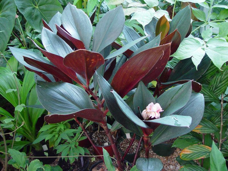 Photo# 10687 - Costus erythrophyllus
