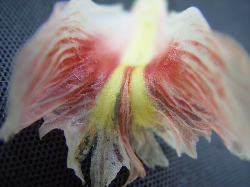 Photo# 10708 - Costus erythrophyllus  labellum