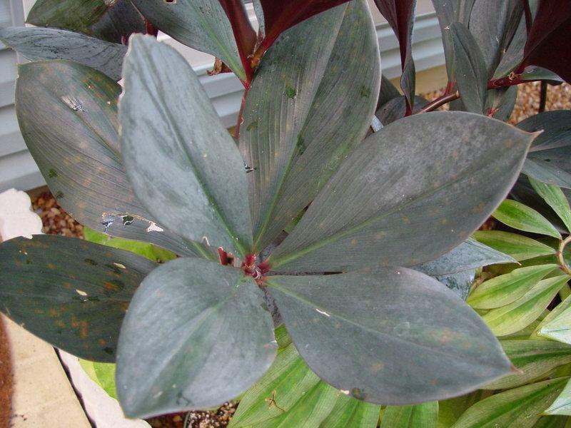 Photo# 10712 - Costus erythrophyllus  leaves