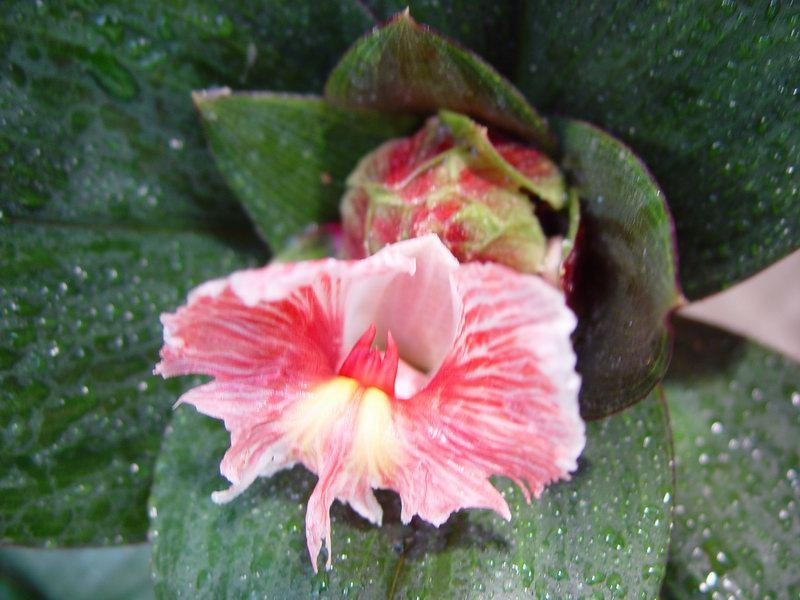 Photo# 10719 - Costus erythrophyllus