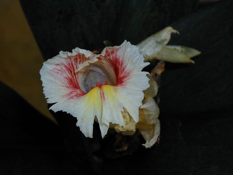 Photo# 10723 - Costus erythrophyllus at Moody Gardens, Galveston, TX