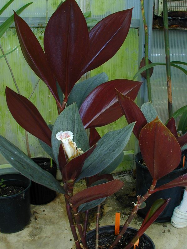 Photo# 10724 - Costus erythrophyllus at Moody Gardens, Galveston, TX