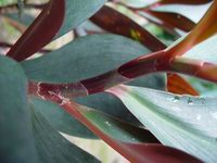 Costus erythrophyllus  Specimen from Jesse Durko Nursery - Click to see full sized image