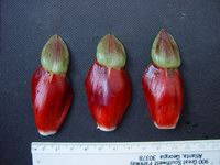 Costus erythrophyllus  bracts, not green appendages - Click to see full sized image