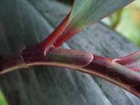 Costus erythrophyllus  ligule - Click to see full sized image