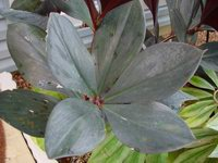 Costus erythrophyllus  leaves - Click to see full sized image