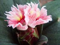 Costus erythrophyllus - Click to see full sized image