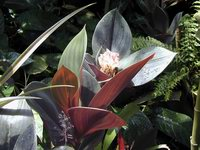 Costus erythrophyllus at Selby Botanical Gardens, Sarasota, FL  - Click to see full sized image