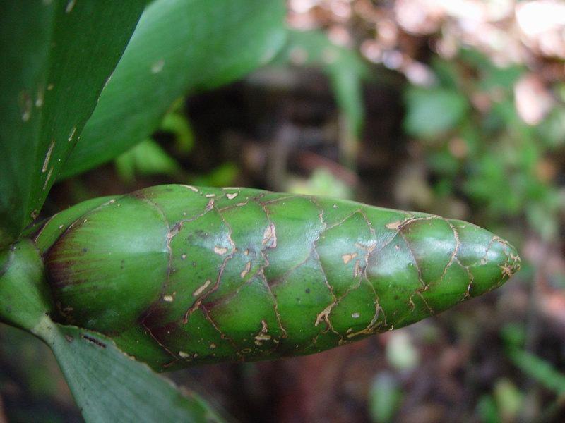 Photo# 10795 - Costus glaucus on trail near Rancho Quemado, Osa Peninsula, Costa Rica In natural habitat,