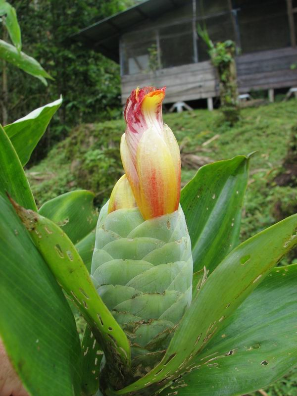 Photo# 12364 - Costus glaucus  at Cerro Nara, Costa Rica inflo. of plant in front of Cerro Nara Lodge