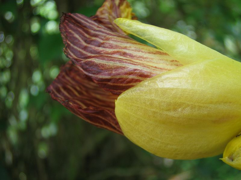 Photo# 10803 - Costus glaucus at La Gamba Biological Research Station, Costa Rica flower