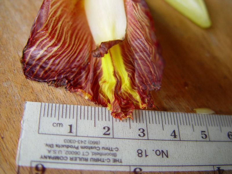 Photo# 10810 - Costus glaucus at La Gamba Biological Research Station, Costa Rica labellum