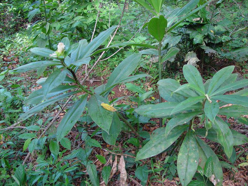 Photo# 10880 - Costus guanaiensis near Cabo Matapalo, Osa peninsula, Costa Rica