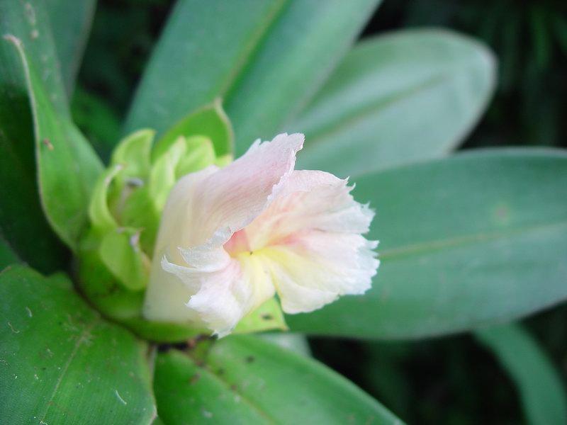 Photo# 10892 - Costus guanaiensis near Rincon, Osa Peninsula, Costa Rica