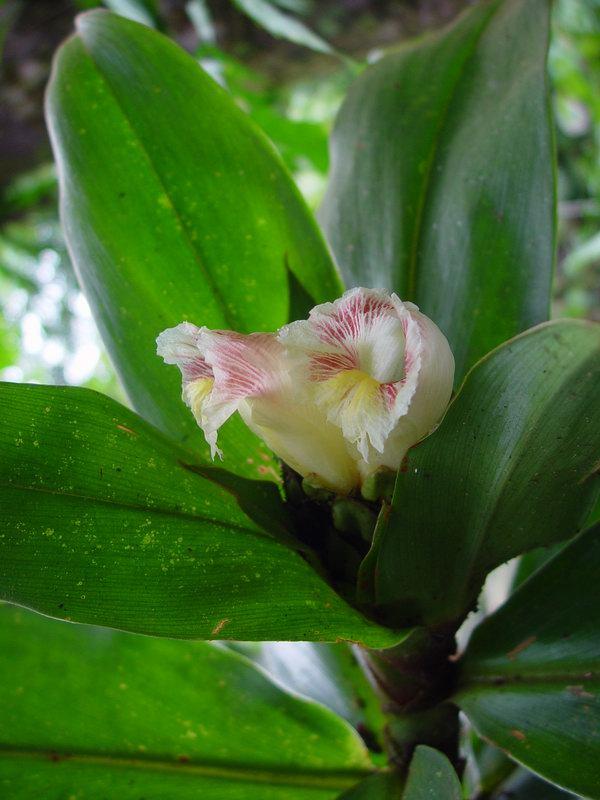 Photo# 10895 - Costus guanaiensis at Wilson Botanical Garden, Costa Rica