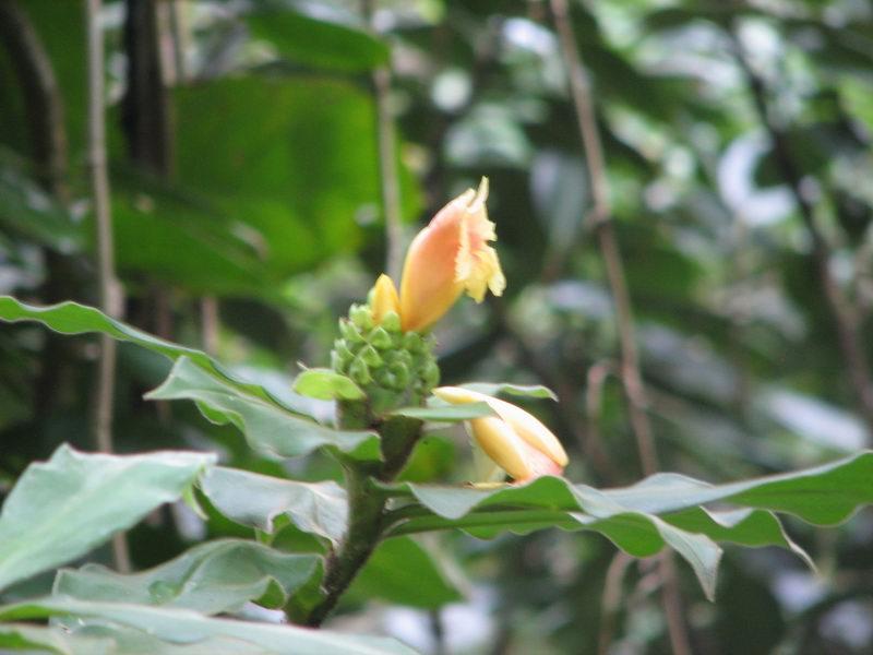 Photo# 12669 - Costus guanaiensis at Lyon Arboretum, Oahu, Hawaii  (located area 1V)