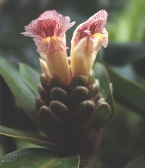 Photo# 10845 - Costus guanaiensis 'Sweet Charlotte' - at Univ. of NC, Charlotte scanned photo of infl.