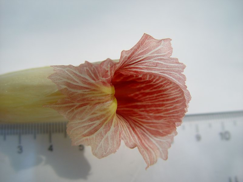 Photo# 10854 - Costus guanaiensis 'Sweet Charlotte' -  flower